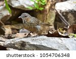 rufous limestone babbler is new ... | Shutterstock . vector #1054706348