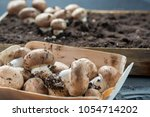 cultivation of brown... | Shutterstock . vector #1054714202