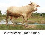 big cow breeder | Shutterstock . vector #1054718462