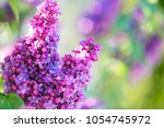 lilac flowers spring blossom  | Shutterstock . vector #1054745972