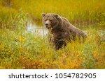 Huge Bear In Brooks Camp In...