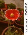 red flower background for card... | Shutterstock . vector #1054801238