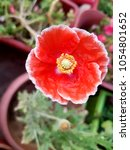 red flower background for card... | Shutterstock . vector #1054801652