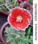 red flower background for card... | Shutterstock . vector #1054801982