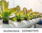 hydroponics organic fresh... | Shutterstock . vector #1054807595