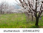 blossoming almond trees in a row   Shutterstock . vector #1054816592