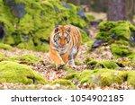 the siberian tiger  panthera... | Shutterstock . vector #1054902185