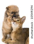 Stock photo the puppy of the spitz dog with a cat 10549294