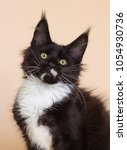 black and white maine coon... | Shutterstock . vector #1054930736