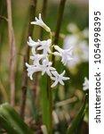 hyacinth white flowers ...   Shutterstock . vector #1054998395