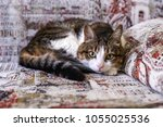 beautiful cat lying on the... | Shutterstock . vector #1055025536
