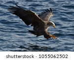 Stock photo white tailed eagle in flight fishing white tailed eagle haliaeetus albicilla also known as the 1055062502