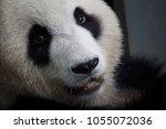 giant panda face close up   Shutterstock . vector #1055072036