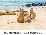 beautiful baby sea lion in san... | Shutterstock . vector #1055089982