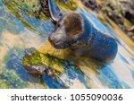 beautiful black baby sea lion... | Shutterstock . vector #1055090036