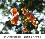 Small photo of Bougainvillea Orange color flowers and green leaves. This tree also known as Santa Rira, buganvilla.