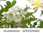 frangipani on the plumeria tree ... | Shutterstock . vector #1055235662