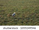 gray heron with prey in its beak | Shutterstock . vector #1055249546