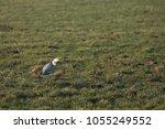 gray heron with prey in its beak | Shutterstock . vector #1055249552