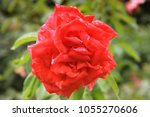 beautiful red flower in the... | Shutterstock . vector #1055270606