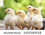 Group Of Baby Chicks On The...