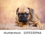 puppy of the french bulldog   Shutterstock . vector #1055330966