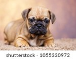 puppy of the french bulldog   Shutterstock . vector #1055330972