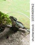 australian water dragon... | Shutterstock . vector #1055400962
