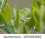 Small photo of African chameleon (Chamaeleo africanus) climbing on branch in natural tree habitat and peeking through leaves