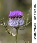 Small photo of Wooly Thistle (Cirsium eriophorum) purple flower with green background