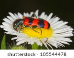 Bee Eating Beetle On A Daisy...
