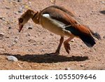 The Egyptian Goose  Alopochen...