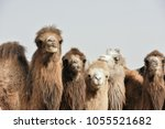 a lovely group of camels | Shutterstock . vector #1055521682
