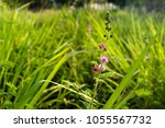 pink flowers of mimosa pudica ...   Shutterstock . vector #1055567732
