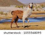 Llama  lama glama  near the...