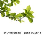 tree branch isolated | Shutterstock . vector #1055601545