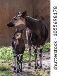 Mother And Baby Okapis