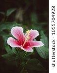 beautiful vertical shot of pink ... | Shutterstock . vector #1055704928