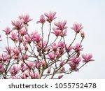 Magnolia Flower Spring Branch...