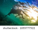 Stock photo swimming horse in clear sea underwater shot against water surface and blue colorful rippes on 1055777522