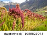 Kiwicha Amaranth Fields In Peru