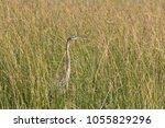 an adult purple heron  ardea... | Shutterstock . vector #1055829296