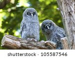 Young Great Grey Owls Sitting...