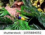 the gouldian finch  erythrura... | Shutterstock . vector #1055884052