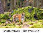 the siberian tiger  panthera... | Shutterstock . vector #1055900615
