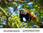 red panda up in a tree eating... | Shutterstock . vector #1055903705