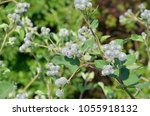 Inflorescences Of A Woolly...