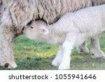 baby lamb suckling from it's... | Shutterstock . vector #1055941646