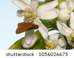close up macro of brown moth on ... | Shutterstock . vector #1056026675