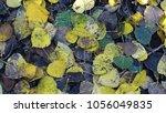 Aspen Leaves On The Forest Floor